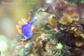 took this image off Catalina Island California. Its spanish shawl nudibranch just decided pose cute me. California me