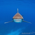 Stealth ModeMost beautiful sight when oceanic whitetip approaches ease