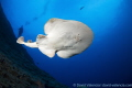This Giant Pacific Electric Ray who takes swim above lens giving nice perspective underneath ray.