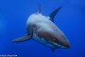 Great White Shark Cal Ripfin coming say hello