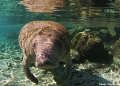 Endangered West Indian Manatee coming her close