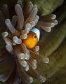 Clownfish looking closed anemone.Taken around pom island 2012Canon 50D 60mm macro Inon strobes anemone. anemone