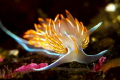 tongue flame This Opalescent Nudibranch was just coming 100ft wall climb paused rest before continuing looking mate meal