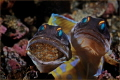 Next generation Jawfishes eggs.Have fun watching. eggs. eggs watching