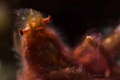 OrangUtan Crab... She were tending be model when see my diopter. Then looking really comfortable her blowing hair fronf strobe lights... Crab diopter lights
