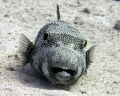 What big teethStarry Puffer Arothron stellatus No Strobes