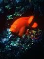 Catalina Island Garibaldi California State Fish