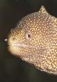 Tiny white mouth moray eel checks photographer. photographer