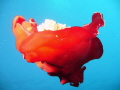Free swimming Spanish Dancer 20m house reef Taba unusual sight October. October