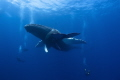 Best Safety Stop ever Momma Baby humpback Whales rest motionless front divers. divers