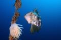 zeus faver cuttlefish eggs