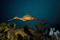 weedy seadragon. Endemic southern coastlines Australia truly beautiful see photograph. seadragon photograph