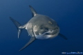 Great White SharkGuadalupe Mexico