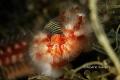 Vermocane Hermodice carunculataSanta Maria di LeucaIntersection two Seas Ionian Sea Adriatic