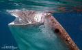 Juvenile whale shark Cebu Philippines