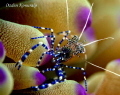 Spotted Cleaner Shrimp Periclimenes yucatanicus size 34 in. depth 10 ft. Utila Island Honduras Canon 400D EF100mm. f2.8 macro1180 f16 ISO320 Ikelite Housingcopyrights Ozden Konuralp 3/4 in ft EF100mm f/2.8 f/28 f/2 2.8 1/180, 1180, 180,