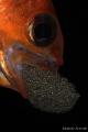 Apogon fish eggs. eggs