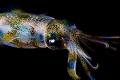squid nightdive