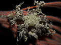 Found this Basket star 30m Hermanus Western Cape South Africa. Just Love them Africa