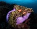 Magnificent Anemone False Clown Fish