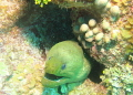 Green Moray Eel taken San Pedro Belize