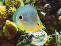 Butterfly Fish reef