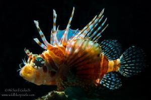 Zebra Lionfish-Lembeh by Richard Goluch
