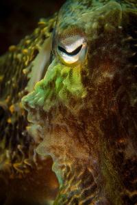 Cuttlefish face by Steven Miller