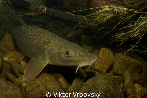 Barbel (Barbus barbus) in a small Czech river by Viktor Vrbovský