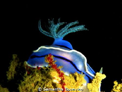 A beautiful chromodoris willani hiding her antennas for p... by Samantha Buonvino