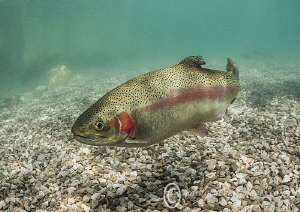 Trout. Capernwray. by Mark Thomas