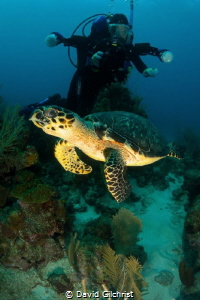 Diver,in background, with Hawksbill Turtle in the waters ... by David Gilchrist