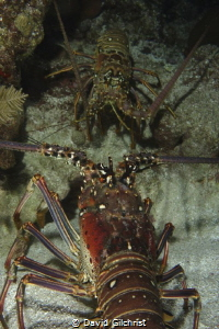 Two lobster 'face off' in Roatan. by David Gilchrist