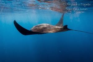 Manta Ray in surface, Isla Contoy Mexico by Alejandro Topete