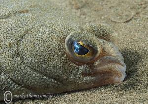Flatfish face. Criccieth beach, N. Wales by Mark Thomas