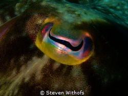 A cuttelfish's eye. by Steven Withofs