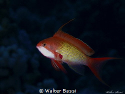 Anthias by Walter Bassi