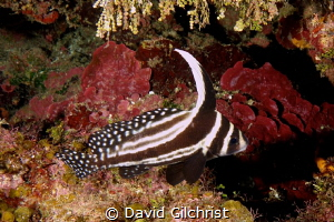 Spotted Drum, Roatan Marine Park by David Gilchrist
