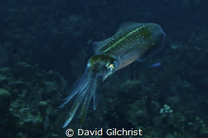 Reef Squid, Roatan Marine Park. An interesting subject! by David Gilchrist