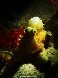 Pygmy octopus by Samantha Buonvino