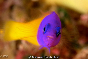 Bicolor dottyback. by Mehmet Salih Bilal