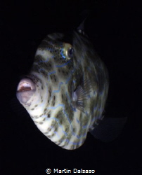 Scrawled filefish, Saipan Grotto night dive by Martin Dalsaso