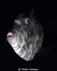 Scrawled filefish, Saipan Grotto night dive by Martin Dalsaso