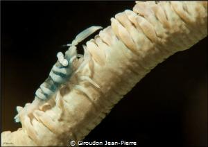 White schrimp on a white gorgona by Giroudon Jean-Pierre