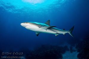 Caribbean Reef Shark Bahamas by Tom Radio