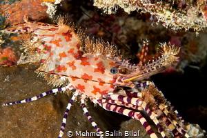 Saron(Marble eyed) shrimp. Bunaken. by Mehmet Salih Bilal