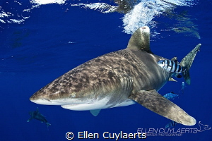 Oceanic whitecap shark The season at Cat island has star... by Ellen Cuylaerts