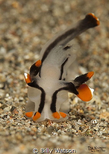 Thecacera picta  --  Dumaguete by Billy Watson