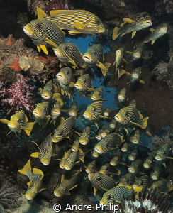 Yellow Ribbon Sweetlips in Raja Ampat by Andre Philip