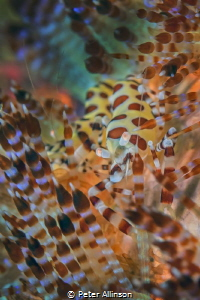 fire urchin shrimp by Peter Allinson